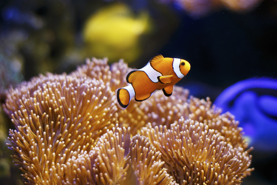 Clownfish in front of anemone