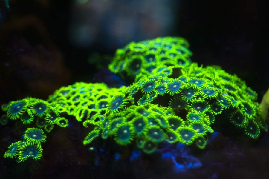 Glowing coral zoanthus