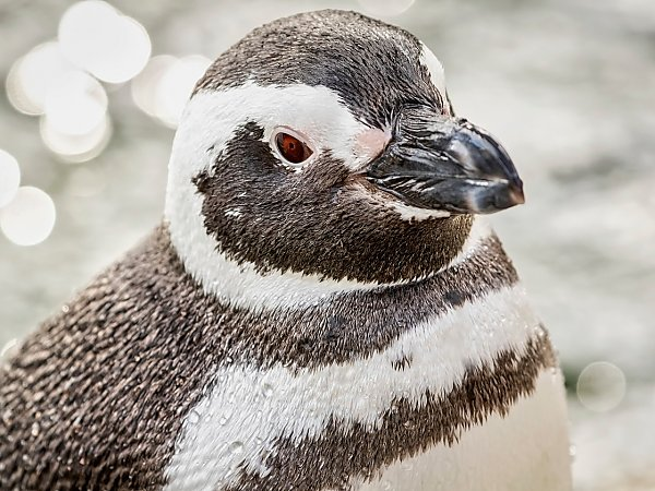 magellanic penguin in front of water looking at camera