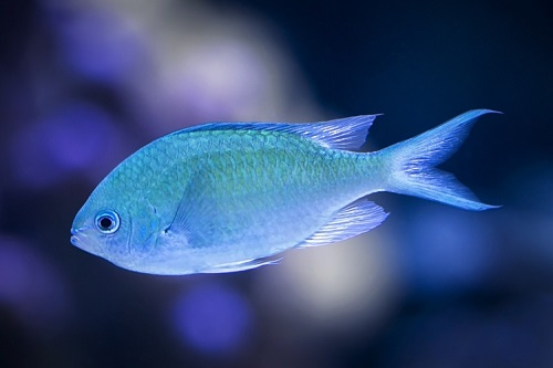 blue fish on dark background
