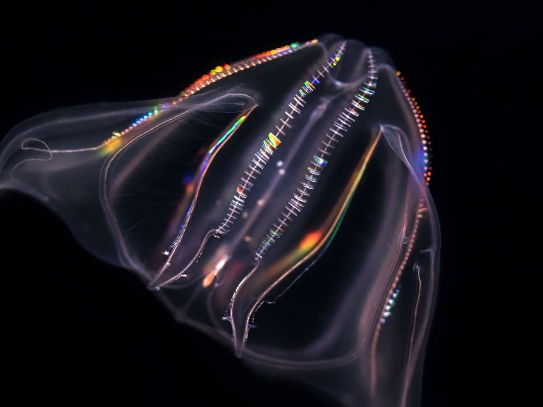 Comb jelly on black background